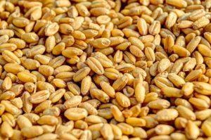 Weizenkörner - Samenkörner aus hybriden Pflanzen sind nicht mehr eigenständig vermehrungsfähig