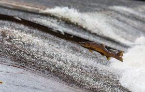 Lachs in freier Wildbahn - Ein Patent auf die haltung von Lachsen zur Erhöhung des Omega3-Gehalts wurde beantragt