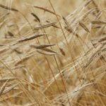 Getreidefeld - hybrides Saatgut macht Bauern abhängig von Saatgutkonzernen