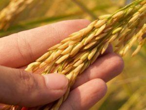 Getreide in Hand - Saatgut als Grundlage unserer Ernährung